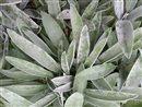 bylinky šalvia pxb