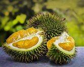 durian 2 pxb