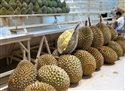 durian pxb